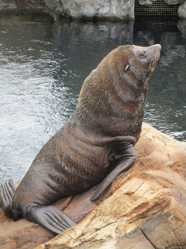 Seal at Living Coast
